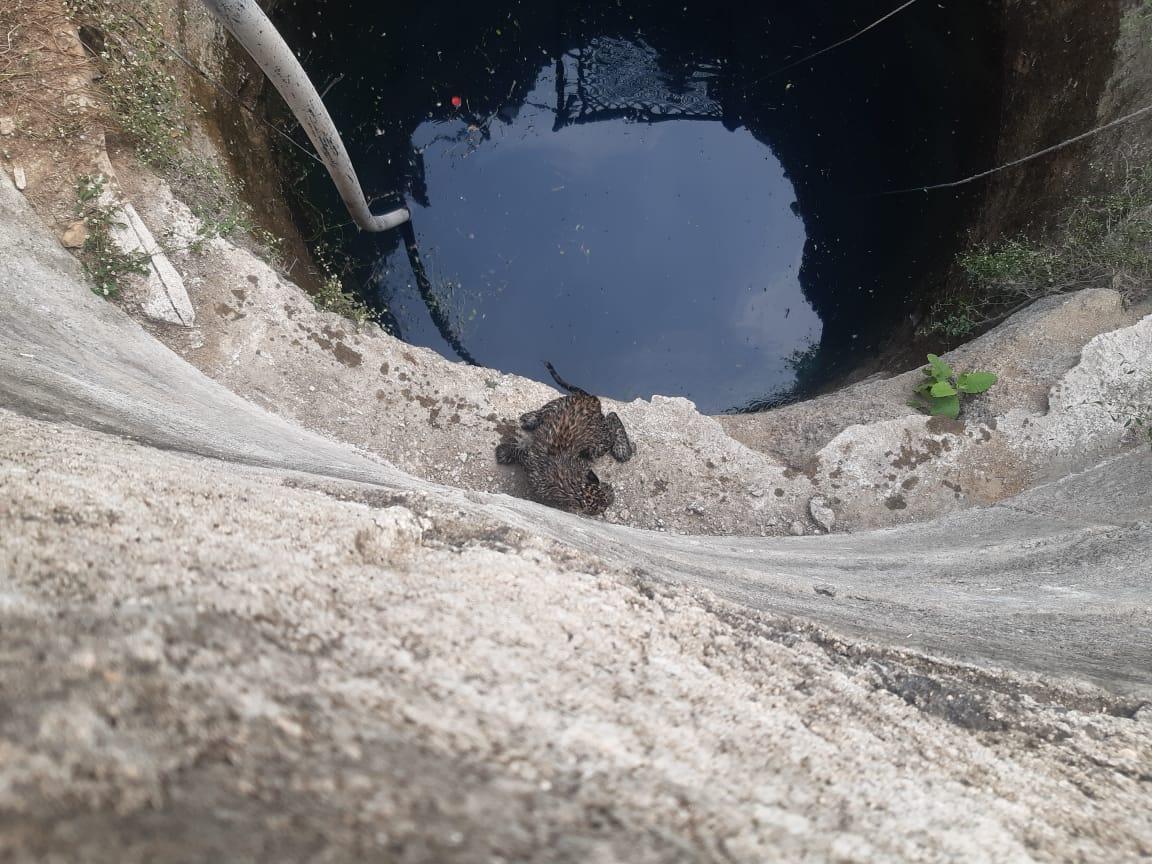 #Dahod - કુવામાં પડેલ 8 મહિનાની બાળ દિપડીને બહાર કાઢવા રસ્સા અને ખાટવા વડે રેસ્ક્યુ ઓપરેશન