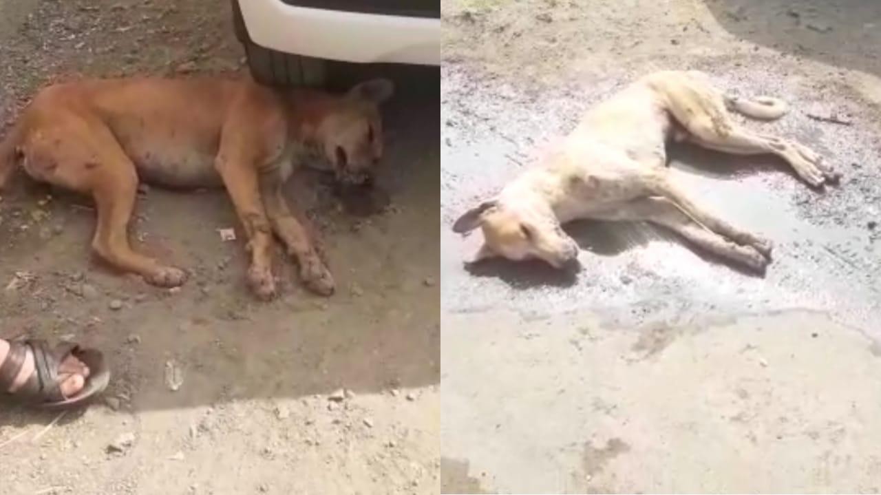 #Rajkot - જસદણમાં 13 કૂતરા અને 4 ગલૂડિયાનાં શંકાસ્પદ મોત છતાં તંત્ર બેફિકર